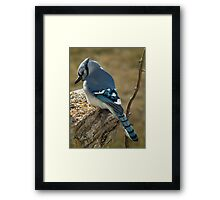 Blue Jay in Contemplative Mood Framed Print