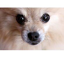 Precious Pomeranian Photographic Print