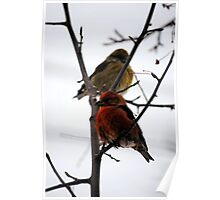 Red Crossbill Mates  Poster
