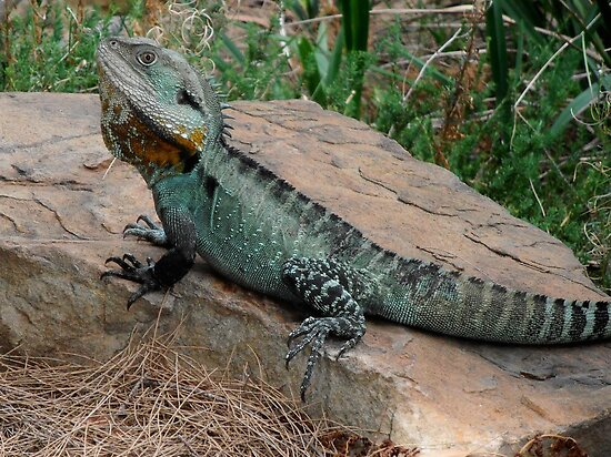 Water Dragon, National Botanic Gardens, Canberra, Australia. by kaysharp