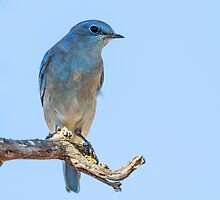 Western Bluebird: Hawking for Gnats & Flies: Sialia mexicana by John Williams