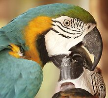 Macaws getting friendly by Peter Edwards