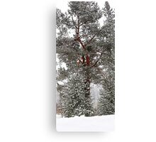 Blister Pine Canvas Print
