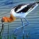 American Avocet by Arla M. Ruggles