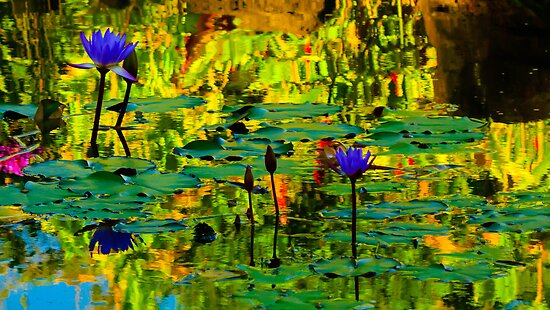 Water lilies reflection by raymona pooler