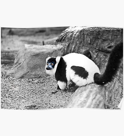 Black-and-white Ruffed Lemur Poster