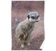 Meerkat peeking Poster