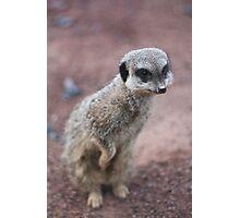 Meerkat peeking Photographic Print