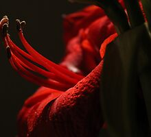Magic Amaryllis  by karina5