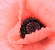 Poppy by Fairoak