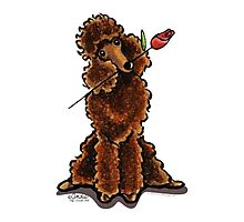 Chocolate Poodle Sweetheart Photographic Print