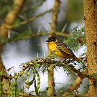 Slender Billed Weaver in Acacia. by Edward Ansett-Cunningham