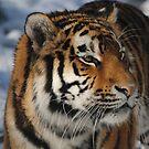 Amur Tiger  by Dorothy Thomson