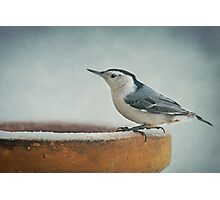 White-Breasted Nuthatch ~ Photographic Print