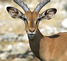 A black-faced Impala Etosha N/P Namibia by Christa Knijff