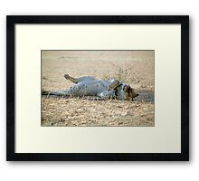 A very lazy young lion resting after a kill Kgalagadi N/P SA Framed Print