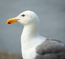 Seagull Portrait by Joshua McDonough