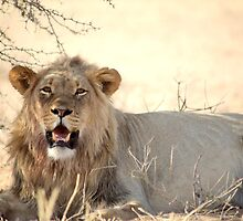 A powerful young male lion at Kgalagadi N/P South Africa  by Christa Knijff