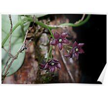 Tylophora barbata (Bearded Tylophora / Hoya barbata)  Poster