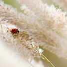 Ladybird on a Cloud of Seeds by Lucy Hollis