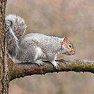 Grey Squirrel by M.S. Photography/Art