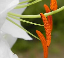 Anther & Filament of a White Lily by Martha Medford