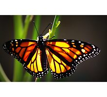 """""""Red Monarch"""" Photographic Print"""