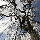 Tall Tree in the park Dundee by Forfarlass