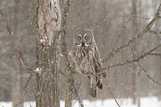 Great Grey Owl - Ottawa, Canada by Josef Pittner