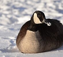 Canada Goose On Snow by Shane Laing