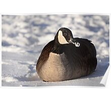 Canada Goose On Snow Poster