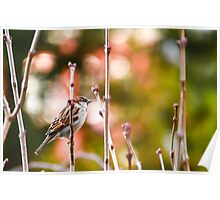 Sparrow On Lilac Bush Poster