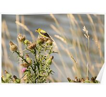 American Gold Finch On A Thistle Poster