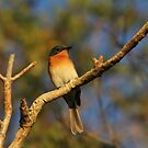 Flycatcher by byronbackyard
