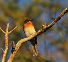 Flycatcher by byronbackyard