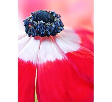 Red Anemone....(II) Photographic Print