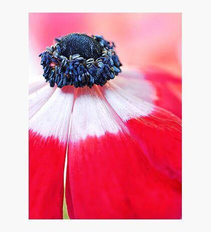 Red Anemone....(II) Photographic Print