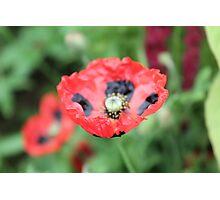 Ladybird Poppy Photographic Print