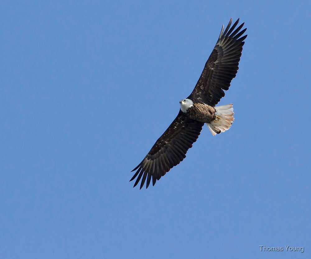 Eagle Soaring In The Sky by Thomas Young