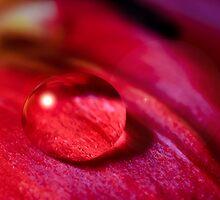 Waterdrop on a tulip petal by marina63