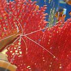 shrimp by sanngat