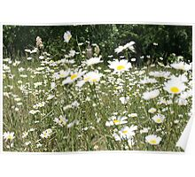 Daisies in summer Poster
