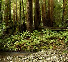 Muir Woods Sentinels by Matt Tilghman