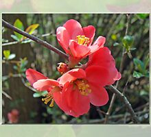 Common Flowering Quince - Chaenomeles speciosa by MotherNature