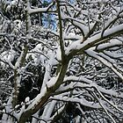 Snow on tree branches by Maxine Collins