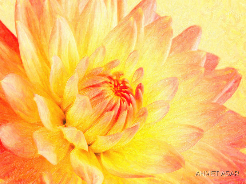 pale pink and yellow dahlia by Adam Asar