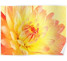 pale pink and yellow dahlia Poster