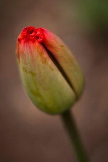Tulipano by EdwardKay
