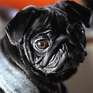 Pug by Falko Follert