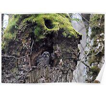 Baby Horned Owl Poster